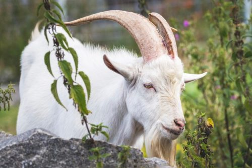white-goat-with-big-horns-on-pasture-among-wildlife_199743-2944